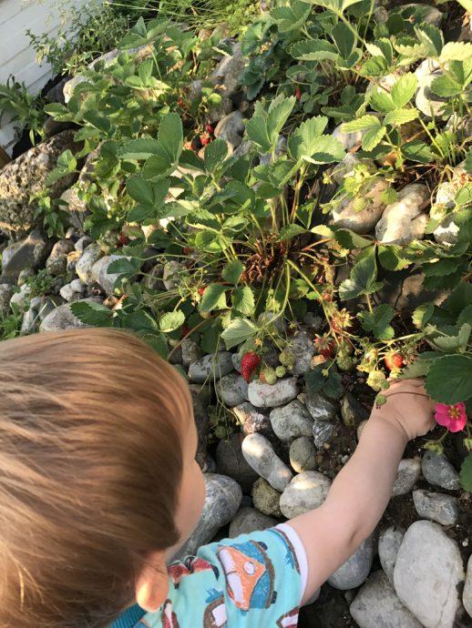 Ernte der ersten eigenen Erdbeeren