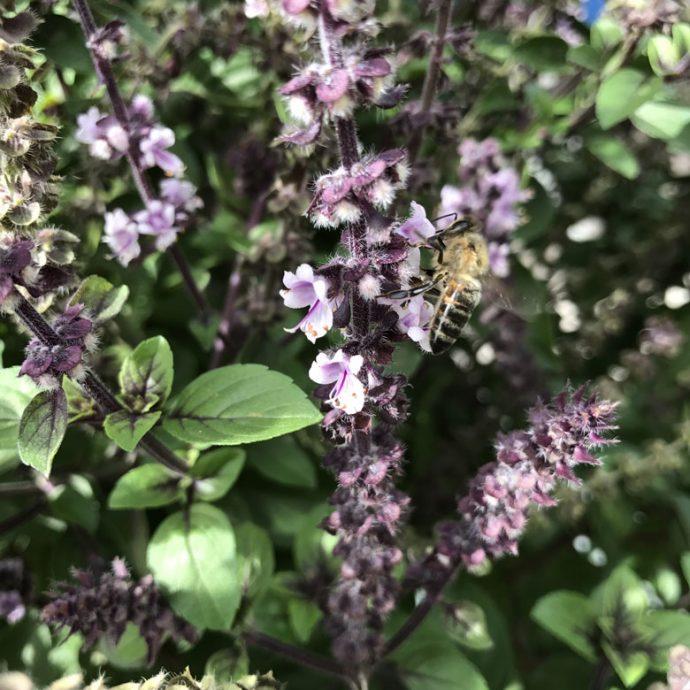 Basilikum und Bienen - 12 von 12 im August
